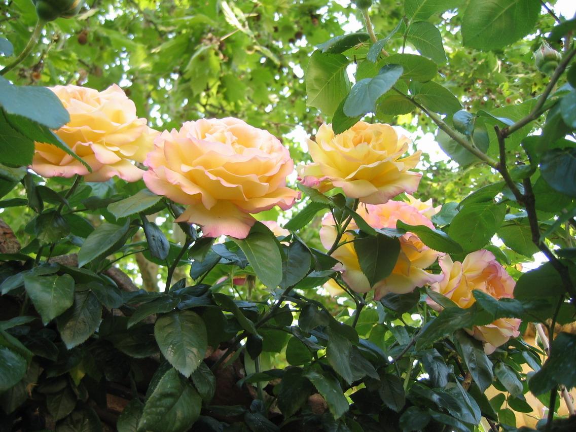 rose, giallo, fiori, rosa, giardino