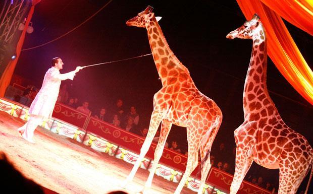 circo giraffe animali