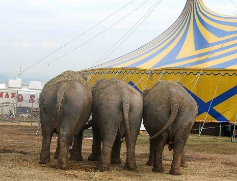 circo elefanti animali