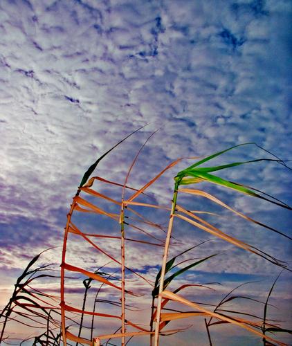canne verde vento cielo