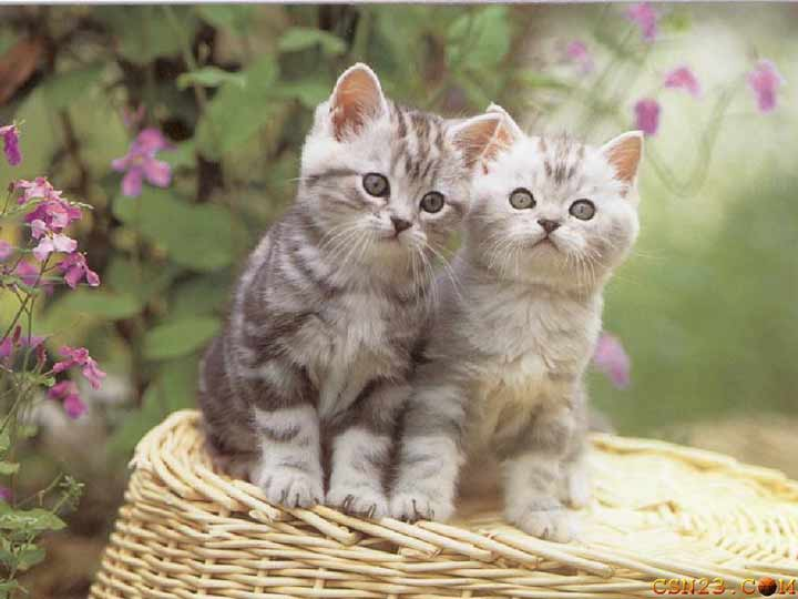 gatti mici animali cuccioli