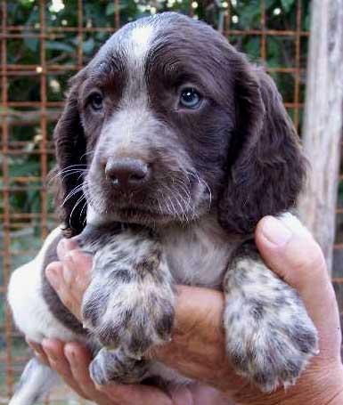cane cucciolo animale caccia