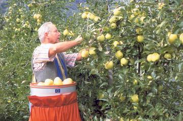 raccolta mele agricoltura frutta