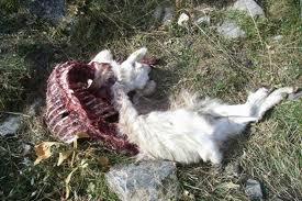 carcassa capra
