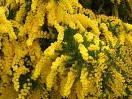 mimose2