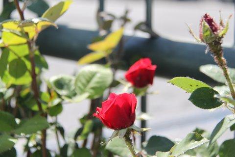 rose primavera fiori