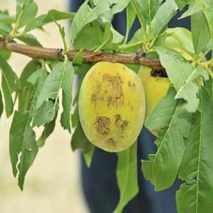 frutta danneggiata