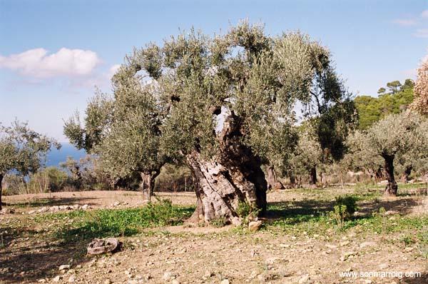olivo pianta ulivo
