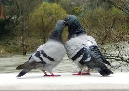 piccioni- coppia