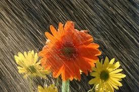 fiori, pioggia, maltempo